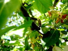 Les punaises dans le pommier
