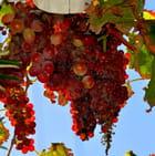 Les raisins étaient trop roses....