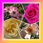 Les roses de Grignan