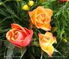Les roses de la dame d'Epinal