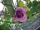 Les roses de mon jardin