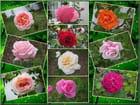 Les roses de septembre dans le jardin