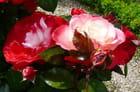Les roses du jardin botanique - 1