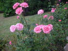 Les roses magnifiques de cet été