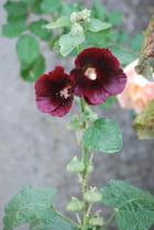 les roses trémières