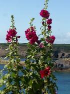 Les roses trémières de la côte
