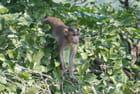 les singes de l'île Eléphanta