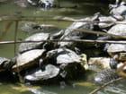 Les tortues de Floride