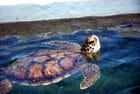 les tortues des bassins extérieurs de Kelonia