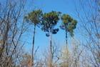 Les trois pins