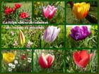Les tulipes du jardin
