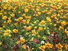 Les tulipes, originaires d'Anatolie