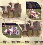 Les vaches du haut doubs