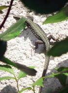 Lézard acrobate