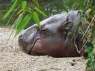 Hippopotame nain