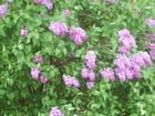 Lilas fleuris