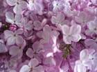 Lilas pastel