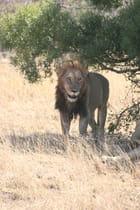 Lion du Kruger