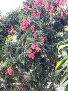 Litchis (2)