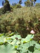 Lotus fleur et fruit devant papyrus