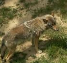 Grand méchant loup ?