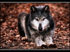 Loup!