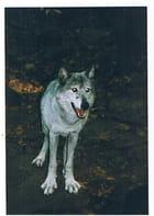 Loup de pologne à orlu