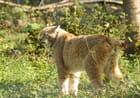 Lynx d'Europe du nord