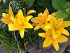Lys jaunes