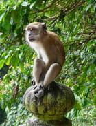 Macaque crabier