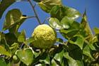 Maclura Pomifera - Oranger des Osages