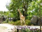 Madame Girafe