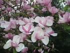 Magnolia :