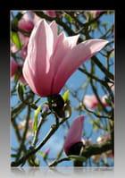 Magnolia à Trévarez