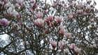 magnolia Breton