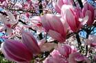 Magnolia fleuri