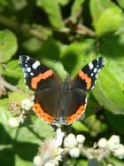 Majestueux, le papillon