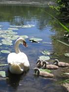 Maman cygne et ses petits