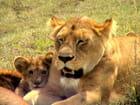 Maman et bébé lion