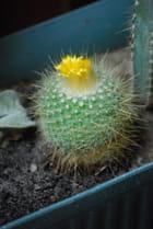 Mamillia en fleurs