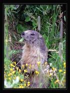 Marmotte (1)