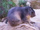 Marmotte.