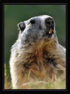 Marmotte (2)