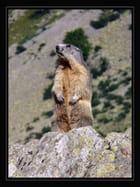 Marmotte (3)