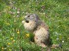Marmotte casse-croûte