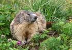 Marmotte dans son écrin de verdure.