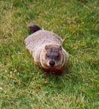 Marmotte du Québec