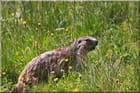 Marmotte en balade