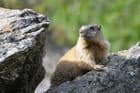 Marmotte en observation dans les roches