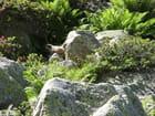 Marmotte et fleurs
